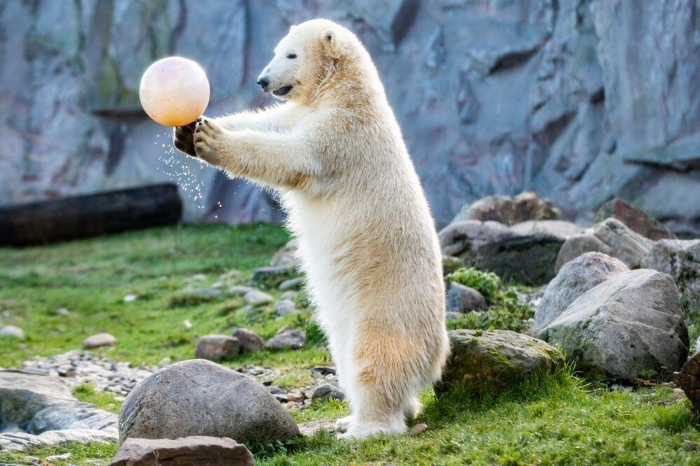 دب قطبياسمه نانوك يلعب مع كرة في حديقة الحيوان في غلزنكيرشن، بمناسبة عيد ميلاده الأول، ألمانيا