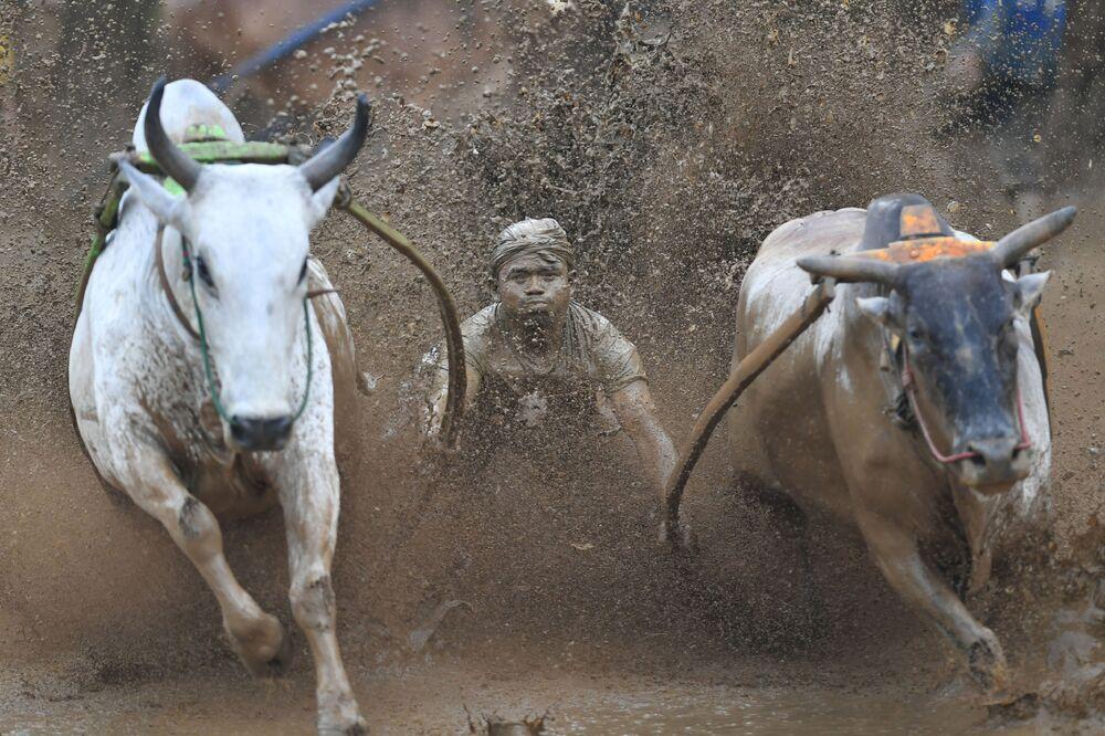 سباق الثيران التقليدي في غرب سومطرة الإندونيسية 1 ديسمبر/ كانون الأول 2018