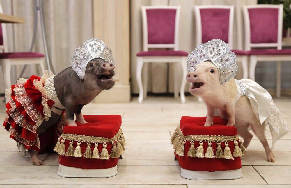 عرض لـ ميني خنازير (الخنازير الصغيرة) بمناسبة أن الخنزير الأصفر رمزالعام القادم، 2019، وفق التقويم الصيني، في بلاشيخا، روسيا 11 ديسمبر/ كانون الأول 2018