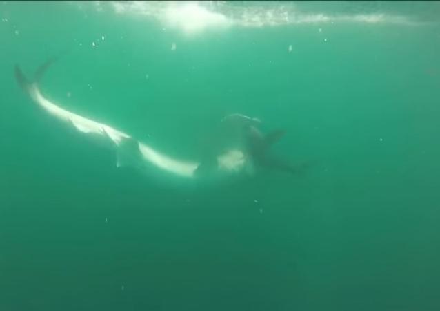 لحظة افتراس قرش ببري لقرش المطرقة
