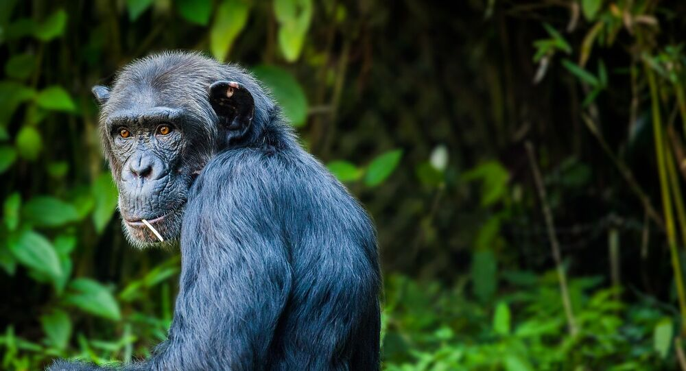 قرد الشمبانزي