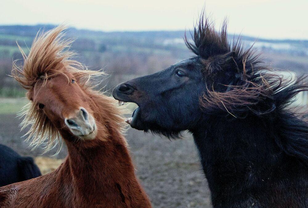 خيول تلعب في أيسلندا في رعيها في فيرهايم بالقرب من فرانكفورت، ألمانيا، 9 يناير/ كانون الثاني 2019
