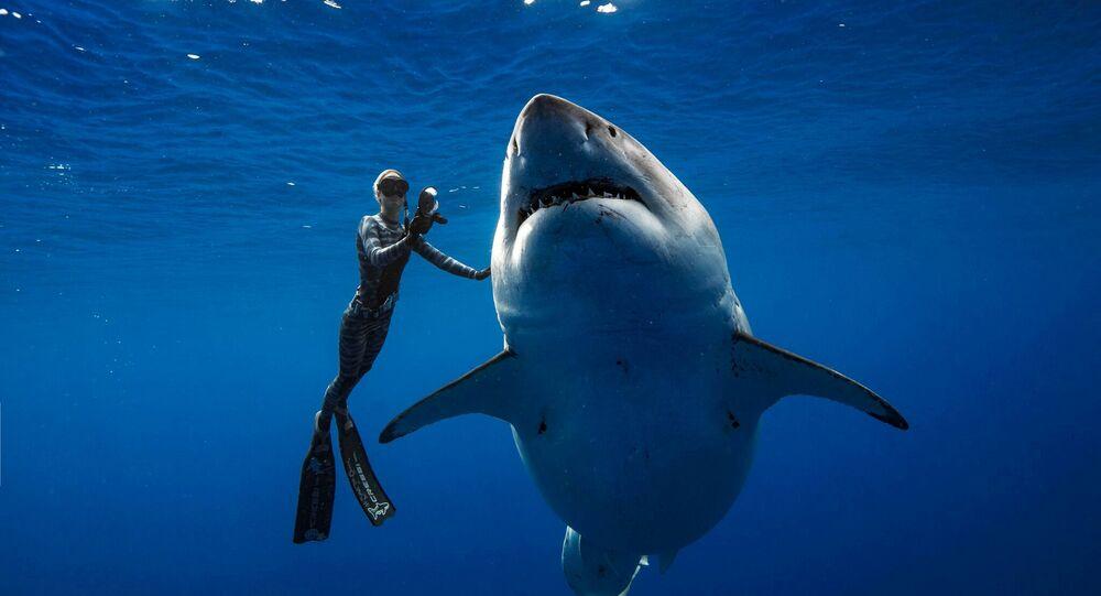 سمكة القرش العملاقة ديب بلو تسبح قرب شواطئ هاواي
