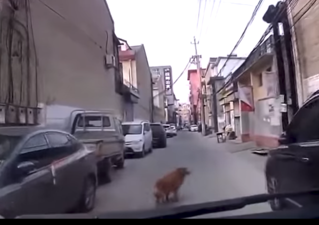 كلب يرشد سيارة الإسعاف لإنقاذ صديقه المريض