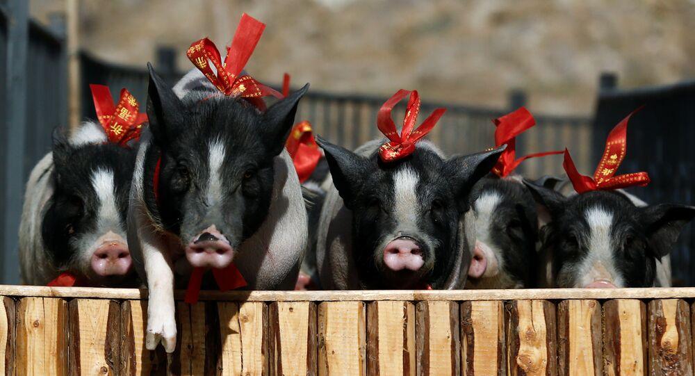 تمر الخنازير من خلال عقبة في مزرعة جزيرة غرين آيلاند