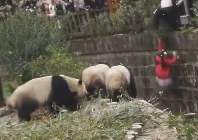 إنقاذ طفلة وقعت داخل بيت لدببة الباندا