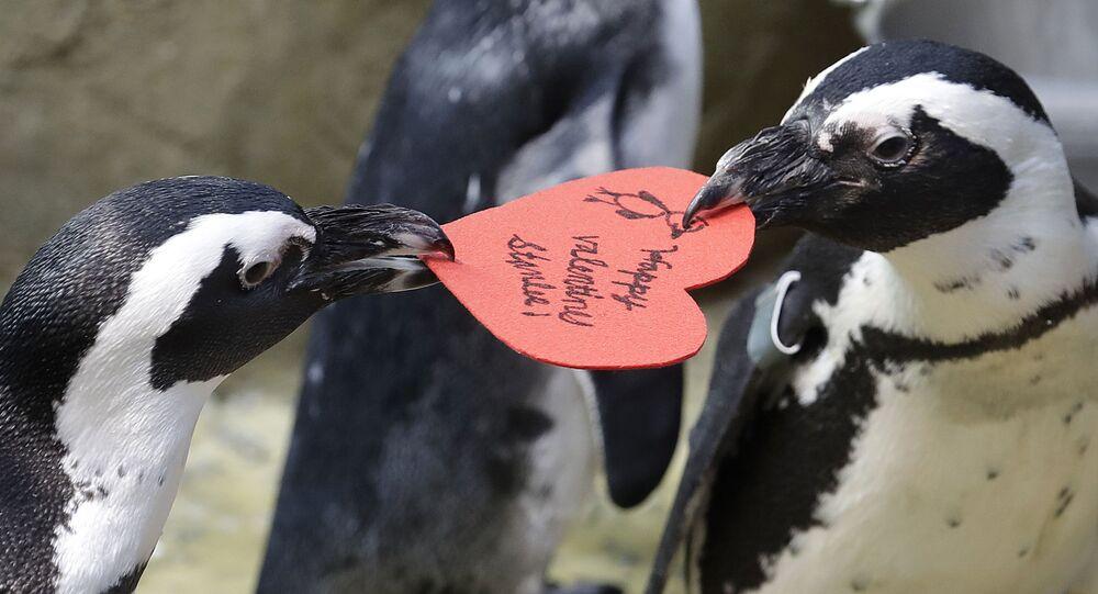 تتنافس طيور البطريق الإفريقية على بطاقة عيد الحب على شكل قلب، التي وزعت من قبل علماء الأحياء المائية بايبر دوايت في أكاديمية كاليفورنيا للعلوم في سان فرانسيسكو، 12 فبراير/ شباط 2019.