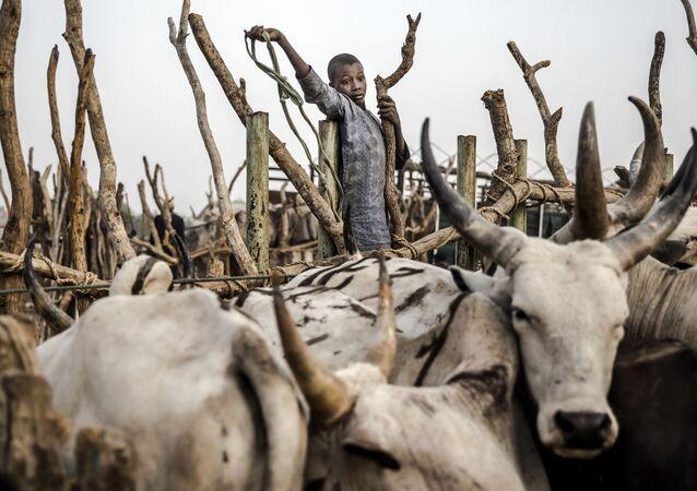 فتى يساعد رعاة الماشية على قيادة مواشيهم، يحاول جمع بعض الأبقار في سوق للثروة الحيوانية في نجور، ولاية أداماوا، نيجيريا في 20 فبراير/ شباط 2019، قبل أيام قليلة من الانتخابات العامة في البلاد. - يقاتل رعاة الماشية والمزارعون الرحل في اشتباكات شبه يومية أسفرت عن مقتل الآلاف في نيجيريا ومئات القرى المتضررة. يأمل كل من المزارعين والرعاة أن تسوي الحكومة المقبلة نزاعهم الدموي. خلال العامين الماضيين، أصبح القتال أكثر دموية وأكثر تسييساً مع اتهام رئيس نيجيريا الحالي بدعم الرعاة.