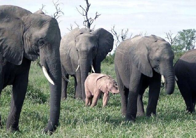 ظهور الفيل الوردي النادر