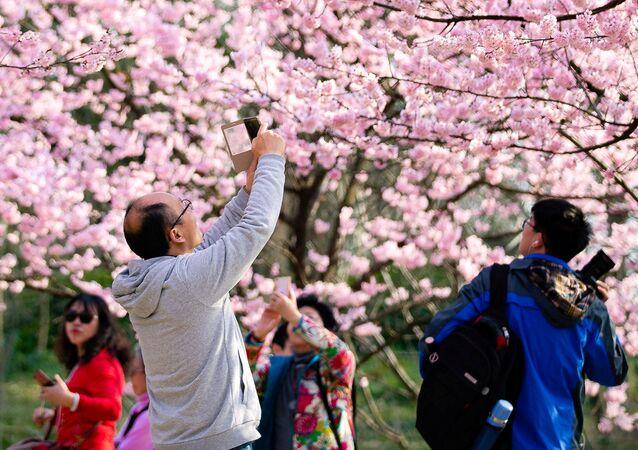 تفتح أزهار شجر الكرز (ساكورا) بالقرب من معبد جيمينغ في نانجينغ، الصين 14 مارس/ آذار 2019