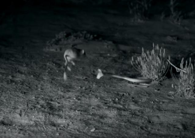 سرعة هائلة للفأر الكنغري في مواجهة أفعى