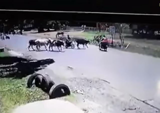 بقرة تقوم بإسقاط سائق دراجة بحركة كونغ فو بهلوانية