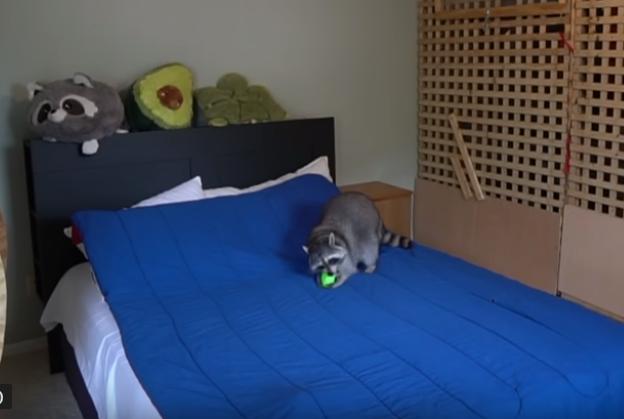 حيوان راكون داخل منزل