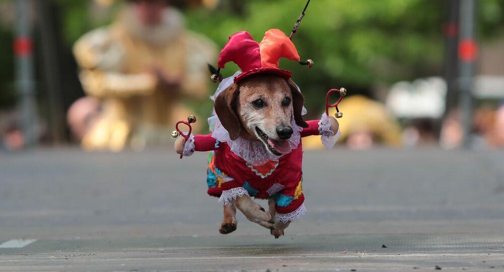 كلب في مسيبرة مكرسة لعام االمسرح، في جزيرة فاسيليفسكي في حديقة أكاديمية الفنون في سانت بطرسبورغ. في القرن الثامن عشر، في ظل حكم الإمبراطورة آنا يوانوفنا، ظهرت الأول مرة في روسيا كلاب من فصيلة داشهند.