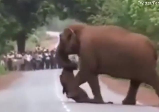 قطيع فيلة ينعي فيلا صغيرا ويخرج بجنازته