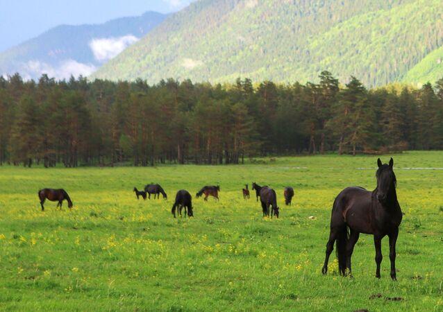 خيول ترعى مرج نهر بسيش على أراضي وادي صوفيا في جمهورية كراتشاي - تشركيسيا