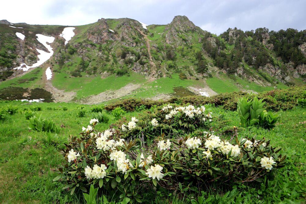أزهار رودودندرون في أراضي وادي صوفيا في جمهورية كراتشاي - تشركيسيا