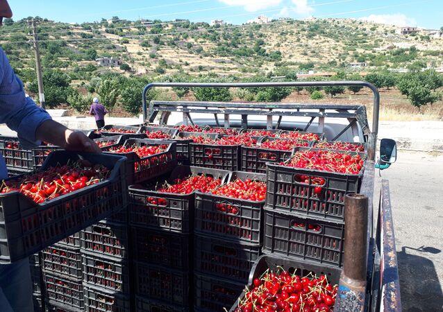 جمع محاصيل الكرز، قرية حضر، سوريا