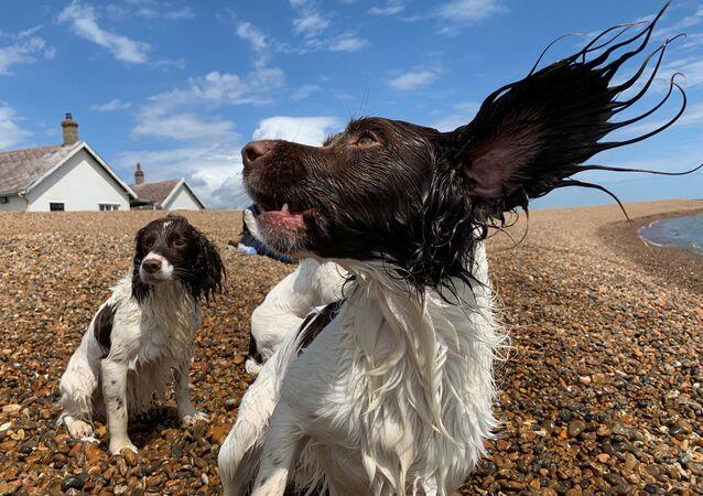 كلاب تلعب على الشاطئ في شارع شينغل، سوفولك، بريطانيا، 15 يونيو/ حزيران 2019