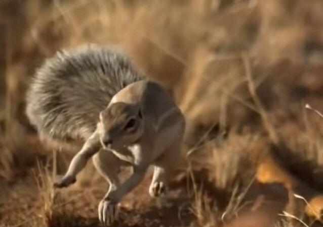 معارك مخيفة بين أفاعي وحيوان أفريقي