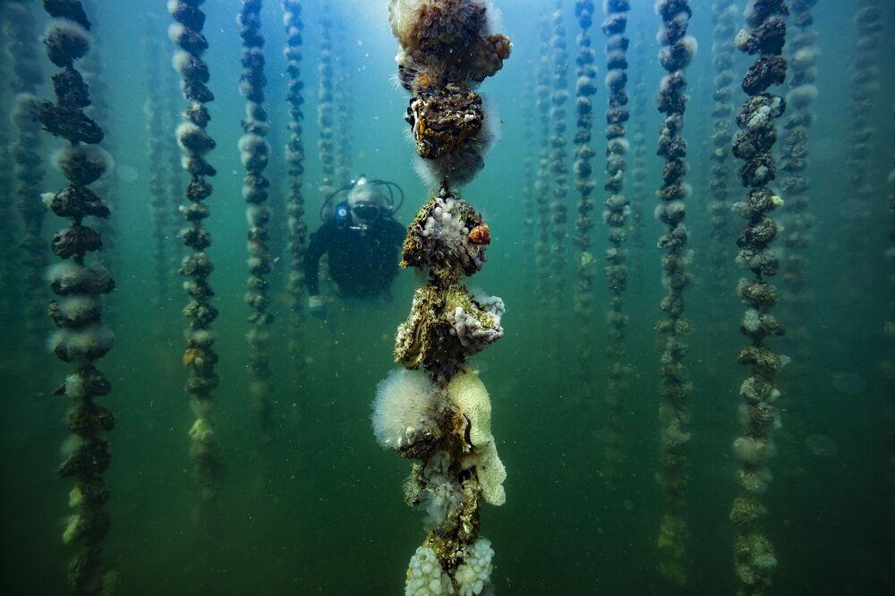عالم الأحياء المائية جان كريستوف كابرول يتحقق من نمو المحار في بوزيغ، فرنسا