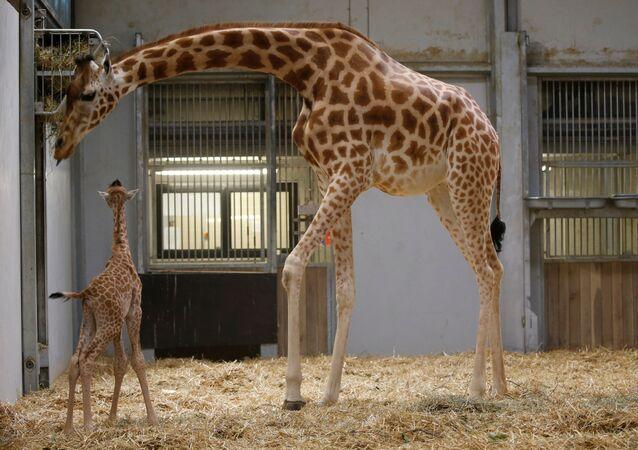 الزرافة المولودة حديثًا في حديقة باريس للحيوانات