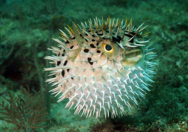 السمكة فوجو