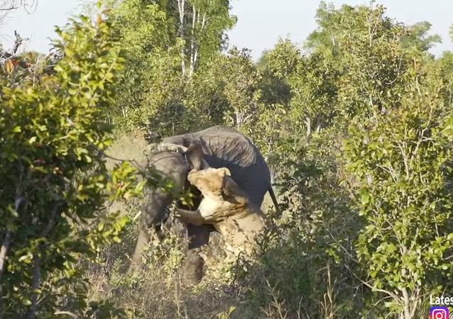 لبؤة جائعة تنقض على فيل ونهاية غير متوقعة
