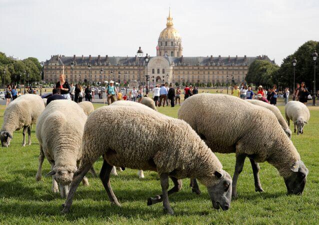 قطيع من الخرفان يصل إلى مدينة باريس في  17 يوليو/ تموز 2019