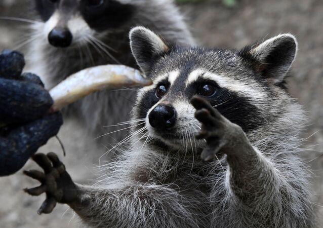 حيوان الراكون أثناء تناول طعامه في حديقة الحيوان، للحيوانات المفترسة الصغيرة من حديقة سفاري بريموركسي الروسية