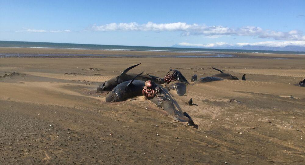 50 حوت تقذف بهم المياه إلى شواطئ جزيرة سنايفيلسنيس، أيسلندا 21 يوليو/ تموز 2019