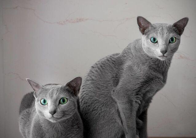 قطط زرقاء روسية
