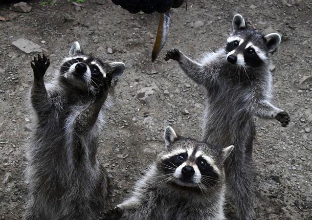 حيوانات الراكون أثناء إطعامهم في حديقة الحيوانات المفترسة الصغيرة التابعة لحديقة سفاري في منطقة بريمورسكي كراي الروسية