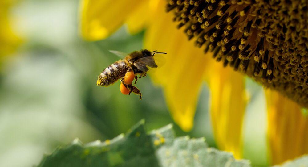 نحلة على زهرة عباد الشمس في منطقة كراسنودار الروسية