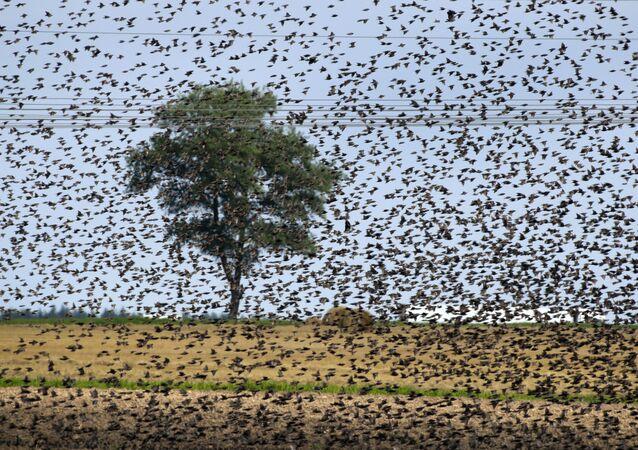 طيور الزرزورالأوروبية تحلق في سماء أحد الحقول على مشارف مدينة مينسك، بيلاروسيا، 30 يوليو/ تموز 2019