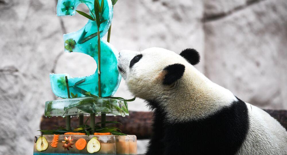 الباندا جوي (3 أعاوم) تحتفل بعيد ميلادها في حديقة الحيوان بموسكو,