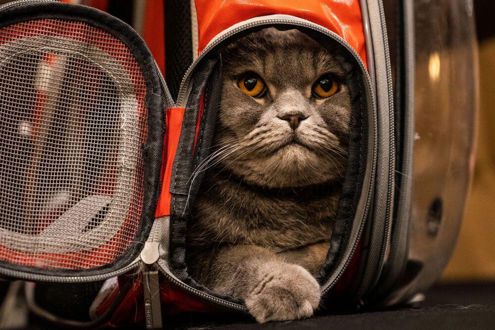 عرض الأزياء للقطط Annual Cat Fashion Show في نيويورك، 1 أغسطس/ آب 2019