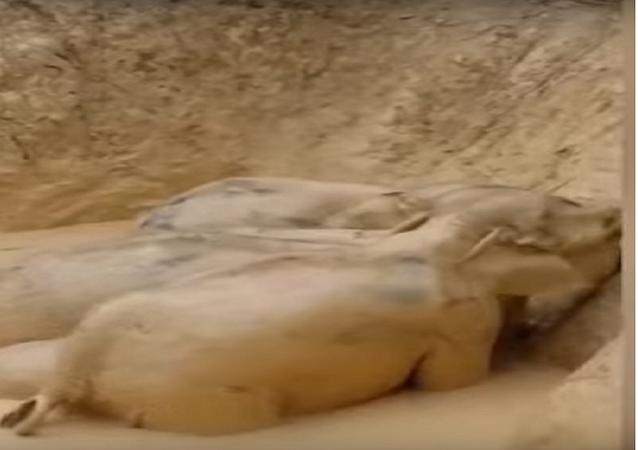 فيلة عالقة داخل حفرة طينية