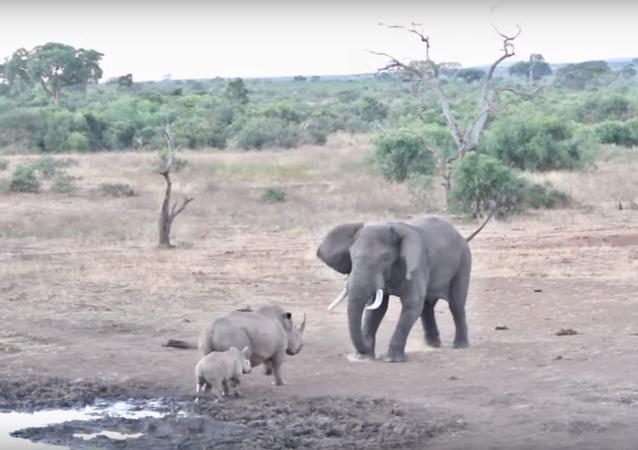 فيل يهجم على وحيد القرن