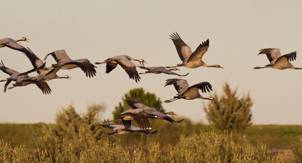 سرب من طيور الرافعات الرمادية في إكستريمادورا، إسبانيا