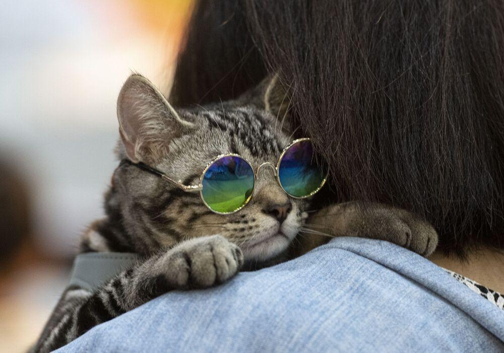 قط يلبس نظارات على كتف صاحبه ي معرض بيت إكسبو تشامبيونشيب (Pet Expo Championship) في بانكوك، 30 أغسطس 2019