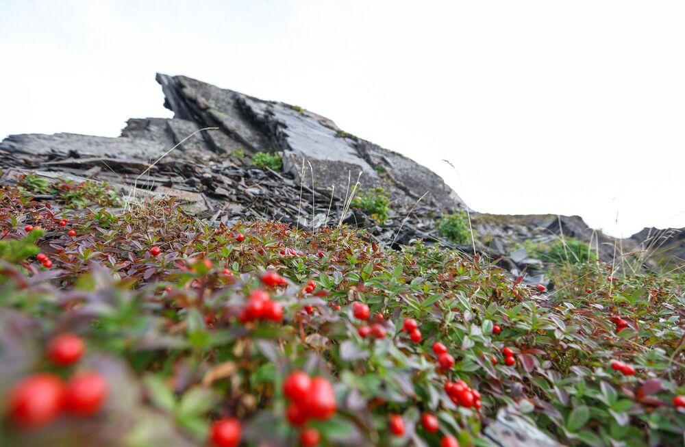 التوت البري الكرانبيري بالقرب من رأس كيكورسكي على شبه جزيرة ريباتشي في منطقة مورمانسك الروسية