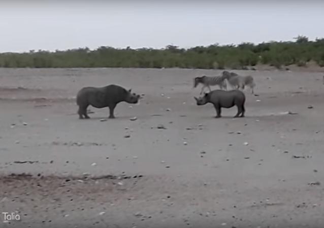 تحدي قاتل بين ذكور وحيد القرن النادرة