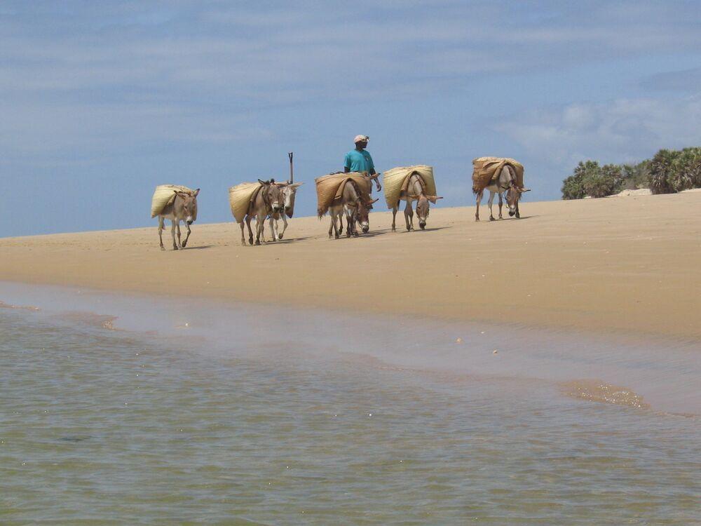 سكان لامو يحملون البضائع على الحمير.