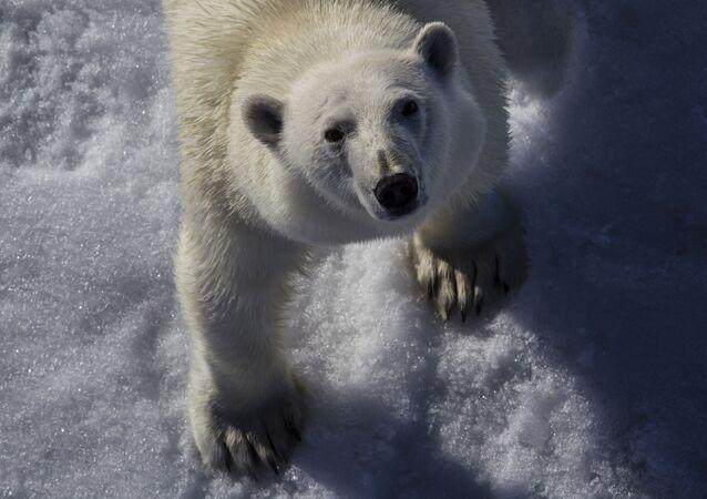 دب أبيض في القطب الشمالي