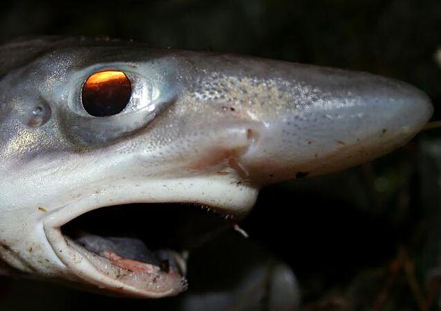 سمكة قرش إسبانية