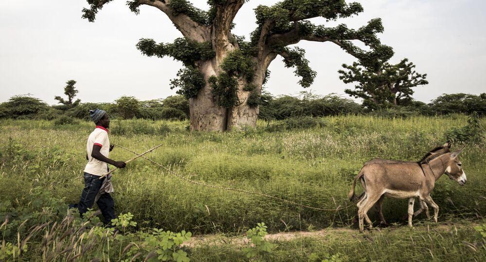 رجل يسير بجوار شجرة الباوباب مع حماره على مشارف غابة بانديا، السنغال في 25 سبتمبر 2019