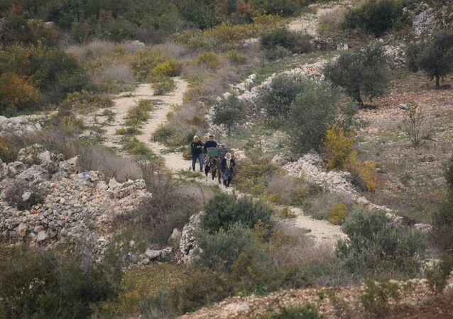 زراعة الزيتون في سوريا