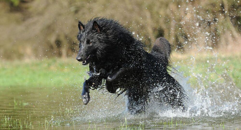 كلب الراعي البلجيكي