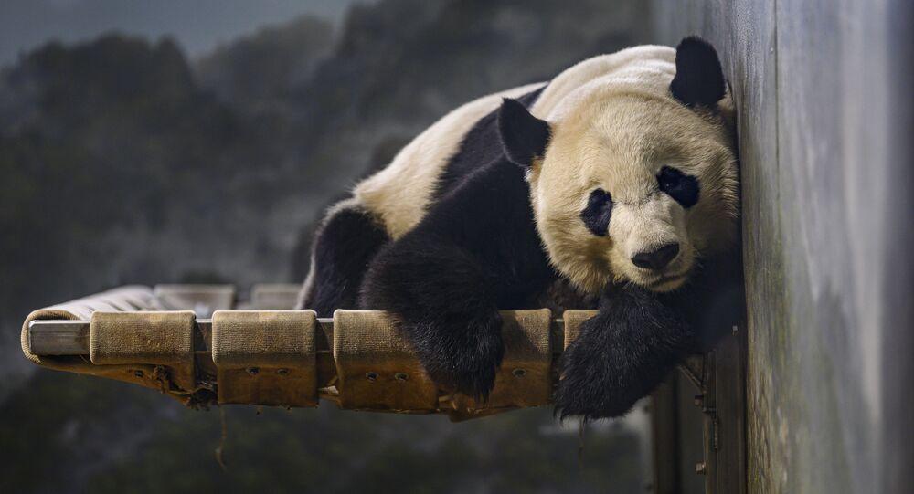 الباندا الكبيرة بي بي تستريح في حديقة حيوان سميثسونيان الوطنية في واشنطن، 14 نوفمبر 2019